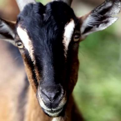 Les chèvres du massif central<br/>