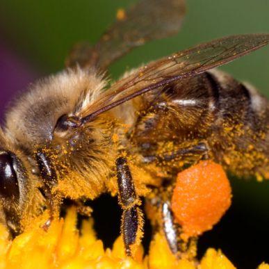 Les abeilles à la loupe